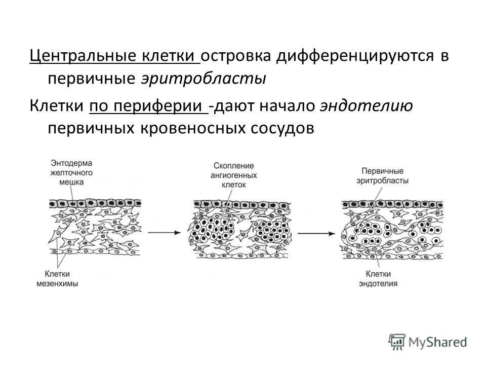 Центральные клетки островка дифференцируются в первичные эритробласты Клетки по периферии -дают начало эндотелию первичных кровеносных сосудов