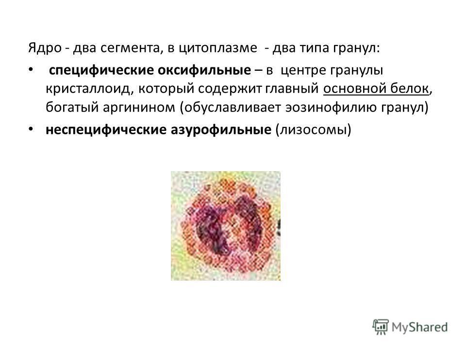 Ядро - два сегмента, в цитоплазме - два типа гранул: специфические оксифильные – в центре гранулы кристаллоид, который содержит главный основной белок, богатый аргинином (обуславливает эозинофилию гранул) неспецифические азурофильные (лизосомы)
