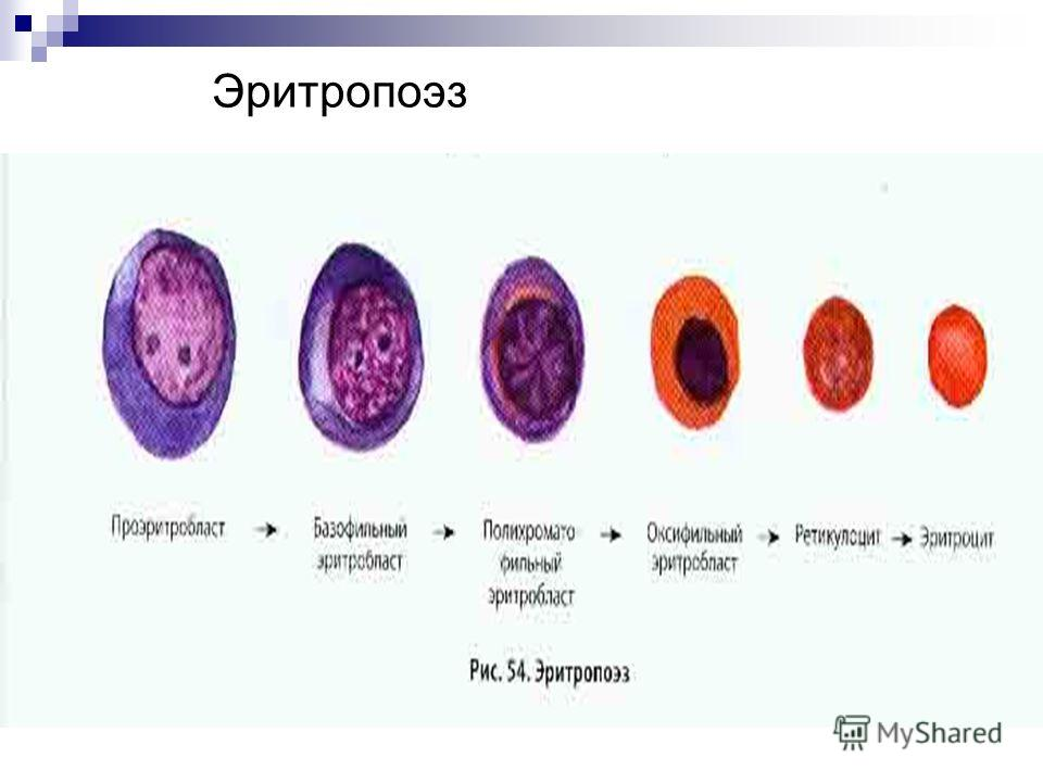 Эритропоэз фото