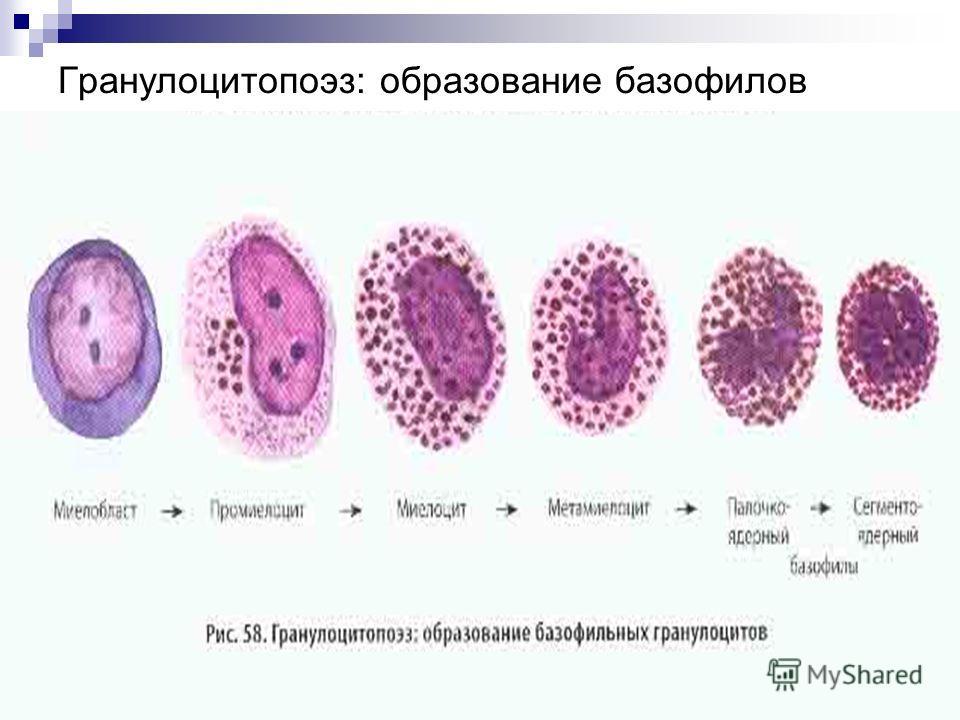 Гранулоцитопоэз: образование базофилов