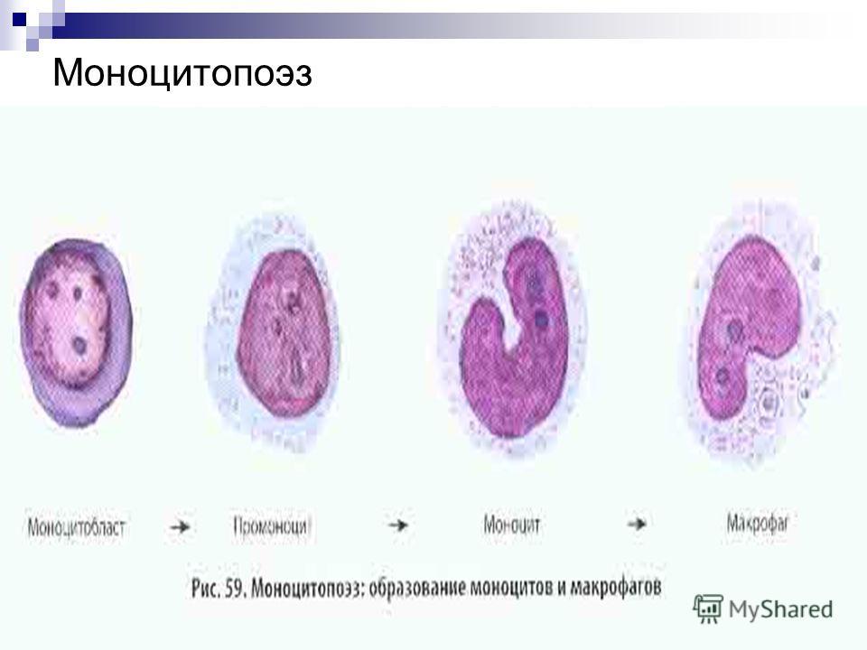 Моноцитопоэз