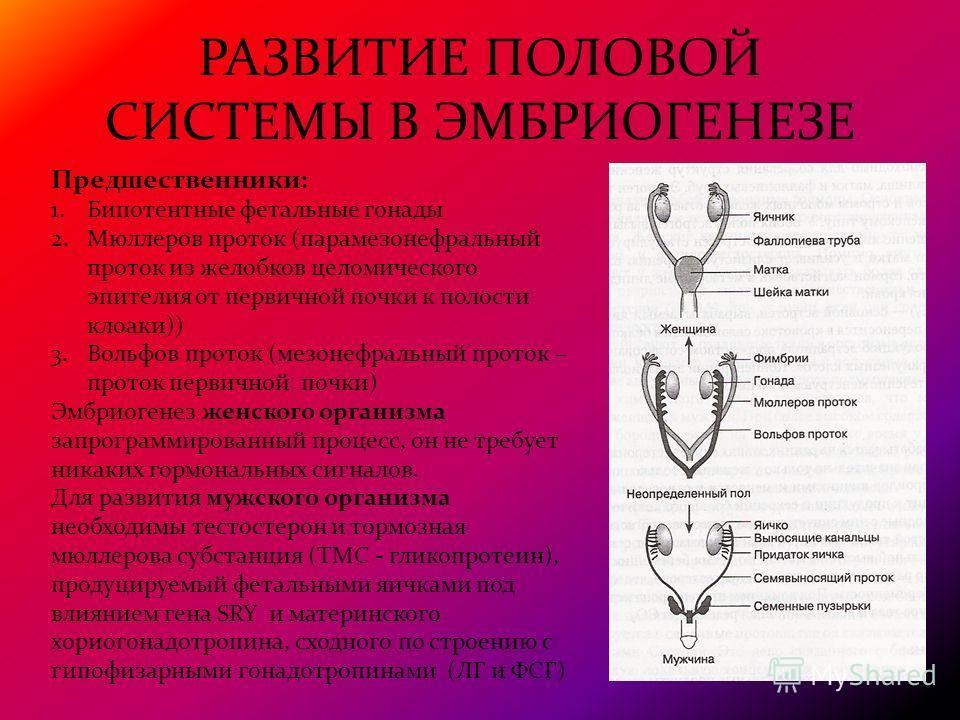 РАЗВИТИЕ ПОЛОВОЙ СИСТЕМЫ В ЭМБРИОГЕНЕЗЕ Предшественники: 1.Бипотентные фетальные гонады 2.Мюллеров проток (парамезонефральный проток из желобков целомического эпителия от первичной почки к полости клоаки)) 3.Вольфов проток (мезонефральный проток – пр