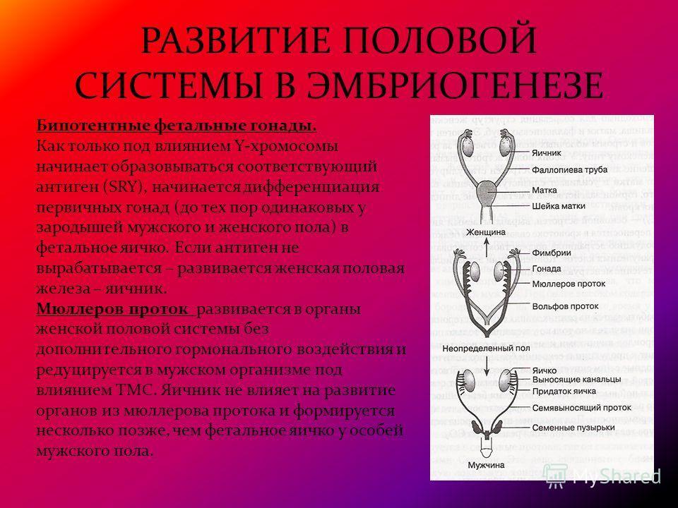 РАЗВИТИЕ ПОЛОВОЙ СИСТЕМЫ В ЭМБРИОГЕНЕЗЕ Бипотентные фетальные гонады. Как только под влиянием Y-хромосомы начинает образовываться соответствующий антиген (SRY), начинается дифференциация первичных гонад (до тех пор одинаковых у зародышей мужского и ж