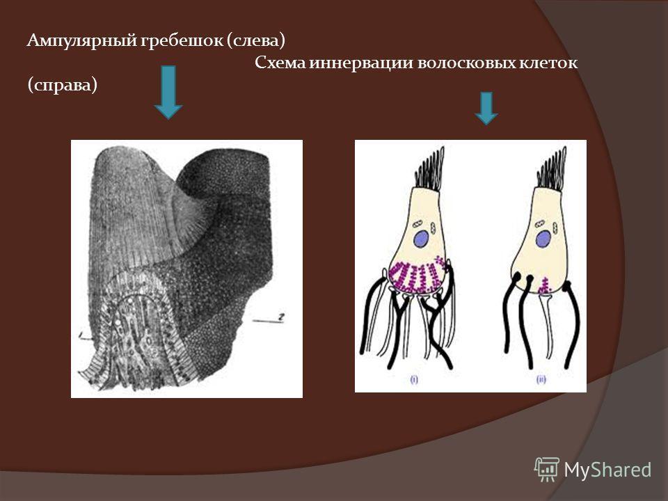 Ампулярный гребешок (слева) Схема иннервации волосковых клеток (справа)