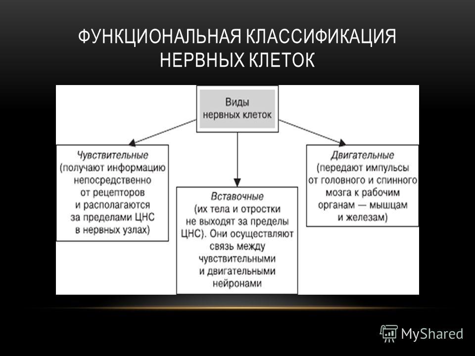 ФУНКЦИОНАЛЬНАЯ КЛАССИФИКАЦИЯ НЕРВНЫХ КЛЕТОК