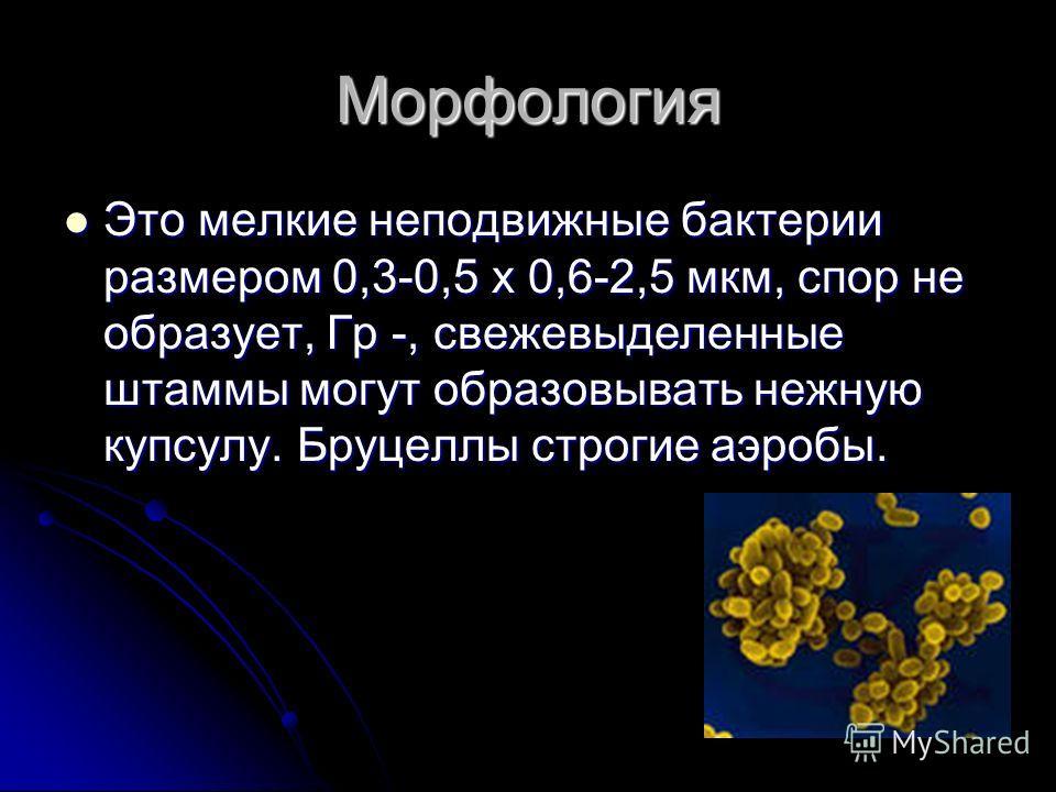 Морфология Это мелкие неподвижные бактерии размером 0,3-0,5 х 0,6-2,5 мкм, спор не образует, Гр -, свежевыделенные штаммы могут образовывать нежную купсулу. Бруцеллы строгие аэробы. Это мелкие неподвижные бактерии размером 0,3-0,5 х 0,6-2,5 мкм, спор