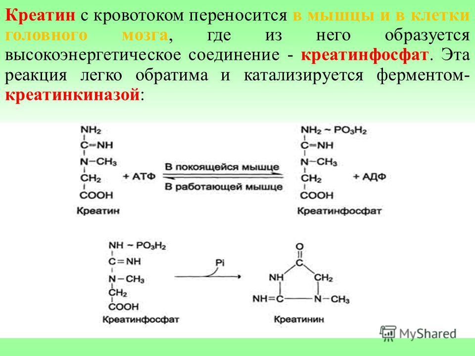 Креатин с кровотоком переносится в мышцы и в клетки головного мозга, где из него образуется высокоэнергетическое соединение - креатинфосфат. Эта реакция легко обратима и катализируется ферментом- креатинкиназой: креатинкиназа