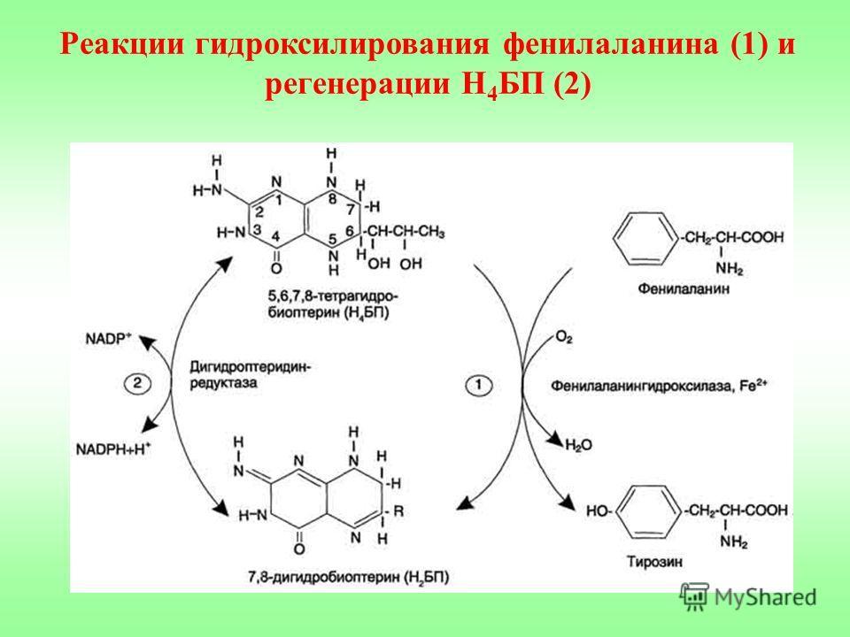 Реакции гидроксилирования фенилаланина (1) и регенерации Н 4 БП (2)
