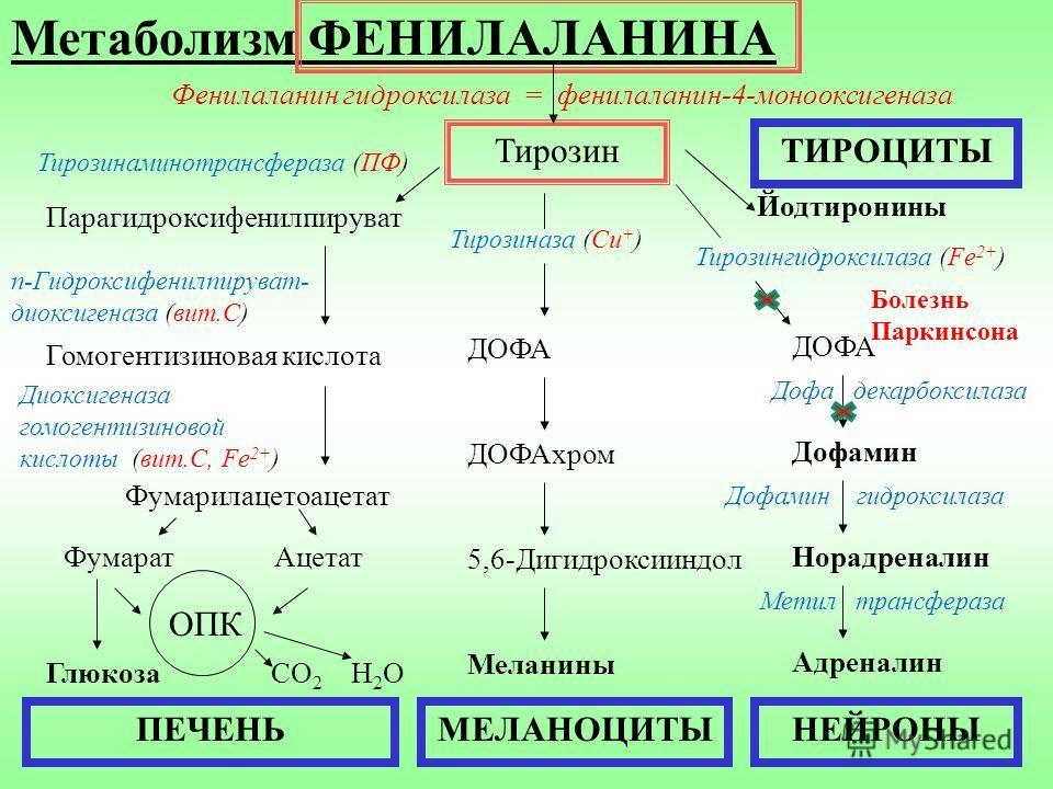 Метаболизм ФЕНИЛАЛАНИНА Тирозин Тирозинаминотрансфераза (ПФ) Парагидроксифенилпируват Гомогентизиновая кислота п-Гидроксифенилпируват- диоксигеназа (вит.С) Диоксигеназа гомогентизиновой кислоты (вит.С, Fe 2+ ) Фумарилацетоацетат Фумарат Ацетат ОПК Гл