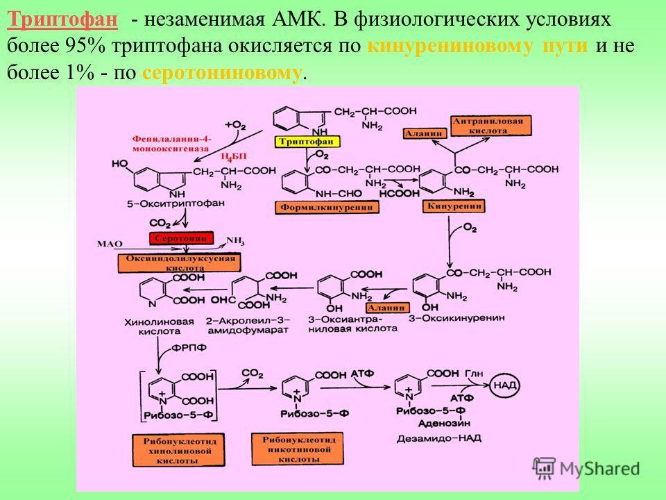 Триптофан - незаменимая АМК. В физиологических условиях более 95% триптофана окисляется по кинурениновому пути и не более 1% - по серотониновому.