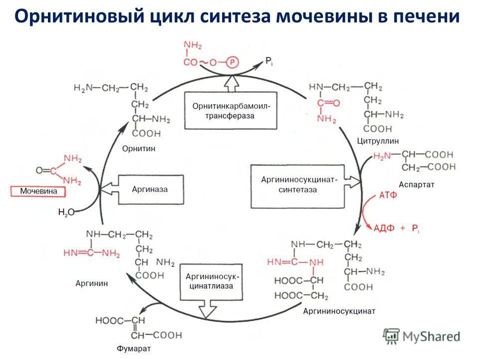 Орнитиновый цикл синтеза мочевины в печени