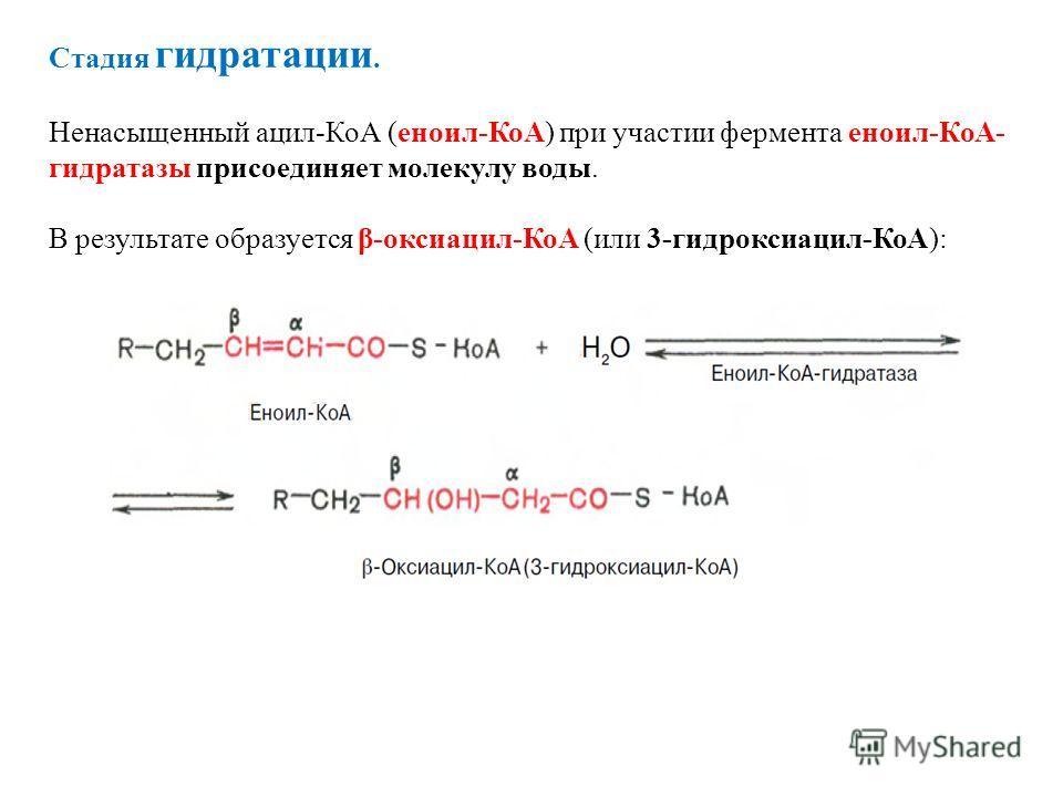 Стадия гидратации. Ненасыщенный ацил-КоА (еноил-КоА) при участии фермента еноил-КоА- гидратазы присоединяет молекулу воды. В результате образуется β-оксиацил-КоА (или 3-гидроксиацил-КоА):