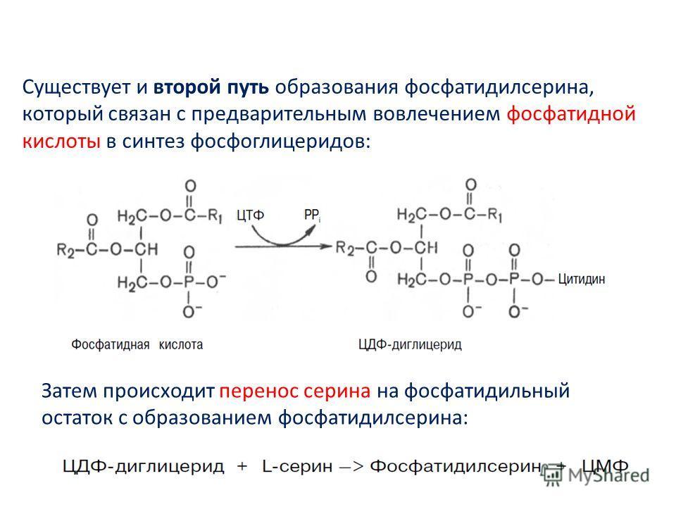Существует и второй путь образования фосфатидилсерина, который связан с предварительным вовлечением фосфатидной кислоты в синтез фосфоглицеридов: Затем происходит перенос серина на фосфатидильный остаток с образованием фосфатидилсерина:
