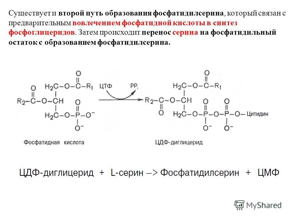 Существует и второй путь образования фосфатидилсерина, который связан с предварительным вовлечением фосфатидной кислоты в синтез фосфоглицеридов. Затем происходит перенос серина на фосфатидильный остаток с образованием фосфатидилсерина.