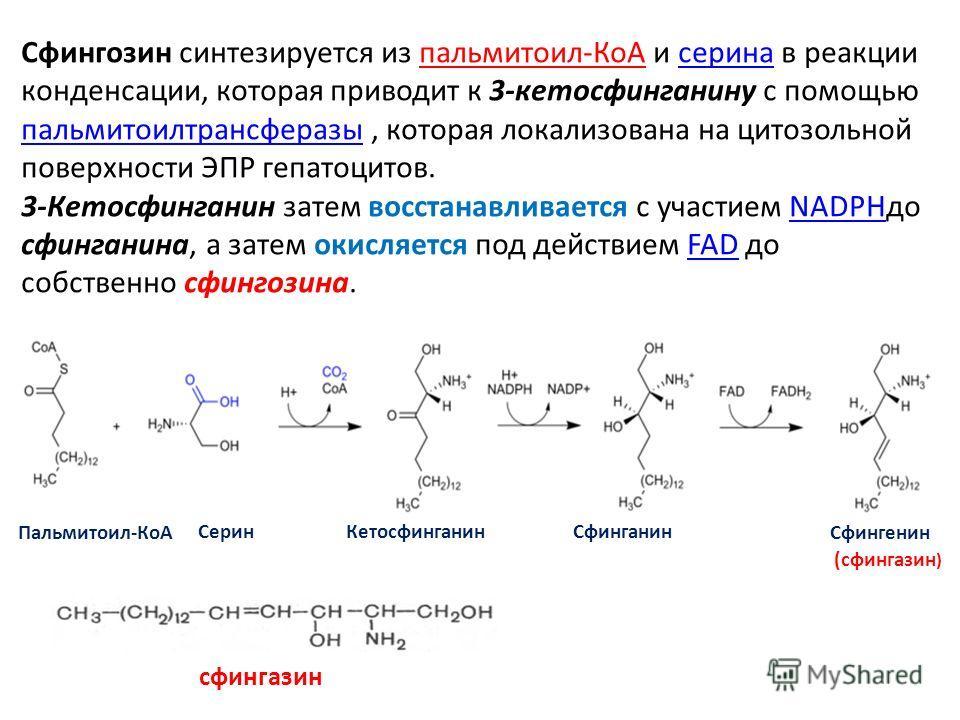 Сфингозин синтезируется из пальмитоил-КoA и серина в реакции конденсации, которая приводит к 3-кетосфинганину с помощью пальмитоилтрансферазы, которая локализована на цитозольной поверхности ЭПР гепатоцитов.серина пальмитоилтрансферазы 3-Кетосфингани