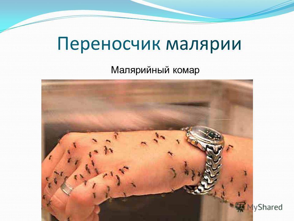Переносчик малярии Малярийный комар