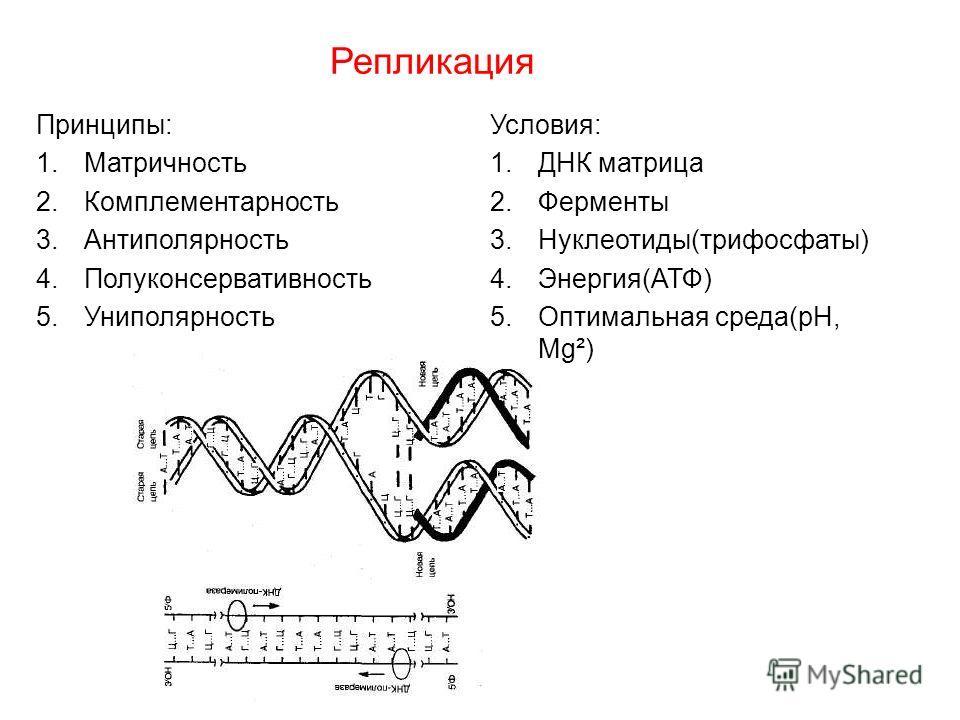 Репликация Принципы: 1.Матричность 2.Комплементарность 3.Антиполярность 4.Полуконсервативность 5.Униполярность Условия: 1.ДНК матрица 2.Ферменты 3.Нуклеотиды(трифосфаты) 4.Энергия(АТФ) 5.Оптимальная среда(рН, Мg²)