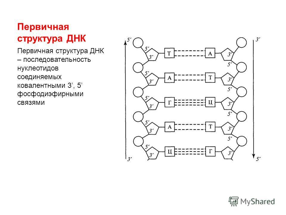 Первичная структура ДНК Первичная структура ДНК – последовательность нуклеотидов соединяемых ковалентными 3, 5 фосфодиэфирными связями