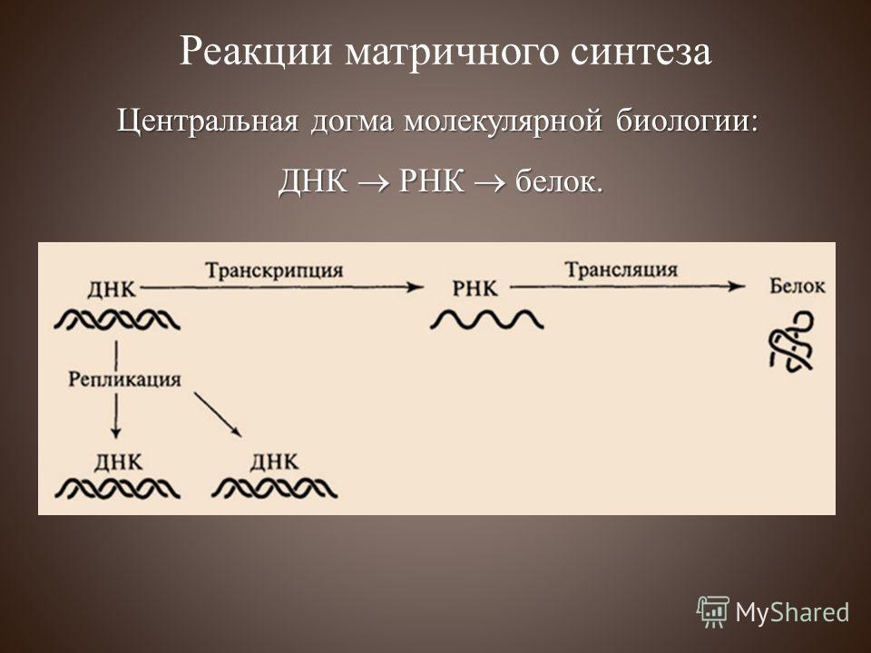 Центральная догма молекулярной биологии: ДНК РНК белок. ДНК РНК белок. Реакции матричного синтеза
