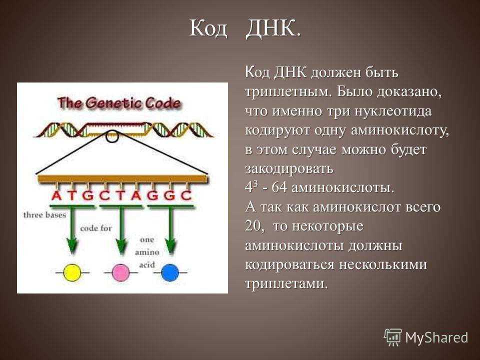 Код ДНК должен быть триплетным. Было доказано, что именно три нуклеотида кодируют одну аминокислоту, в этом случае можно будет закодировать 4 3 - 64 аминокислоты. А так как аминокислот всего 20, то некоторые аминокислоты должны кодироваться нескольки