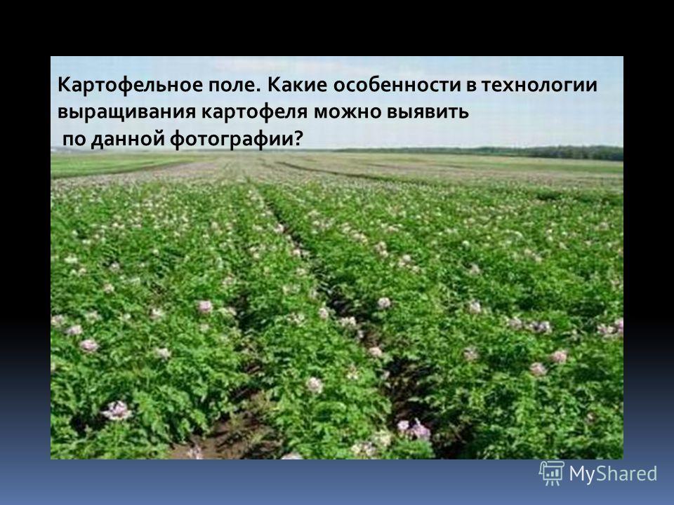 Картофельное поле. Какие особенности в технологии выращивания картофеля можно выявить по данной фотографии?