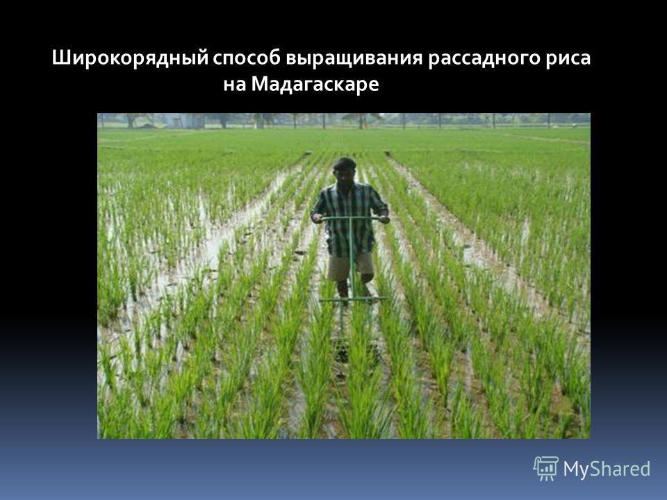 Широкорядный способ выращивания рассадного риса на Мадагаскаре