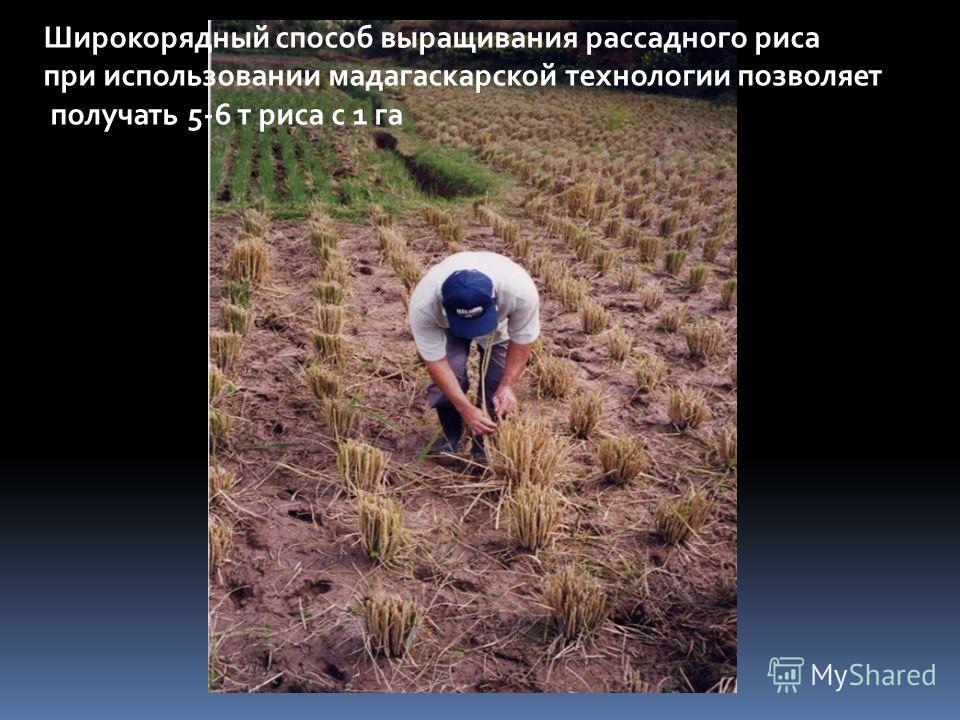 Широкорядный способ выращивания рассадного риса при использовании мадагаскарской технологии позволяет получать 5-6 т риса с 1 га
