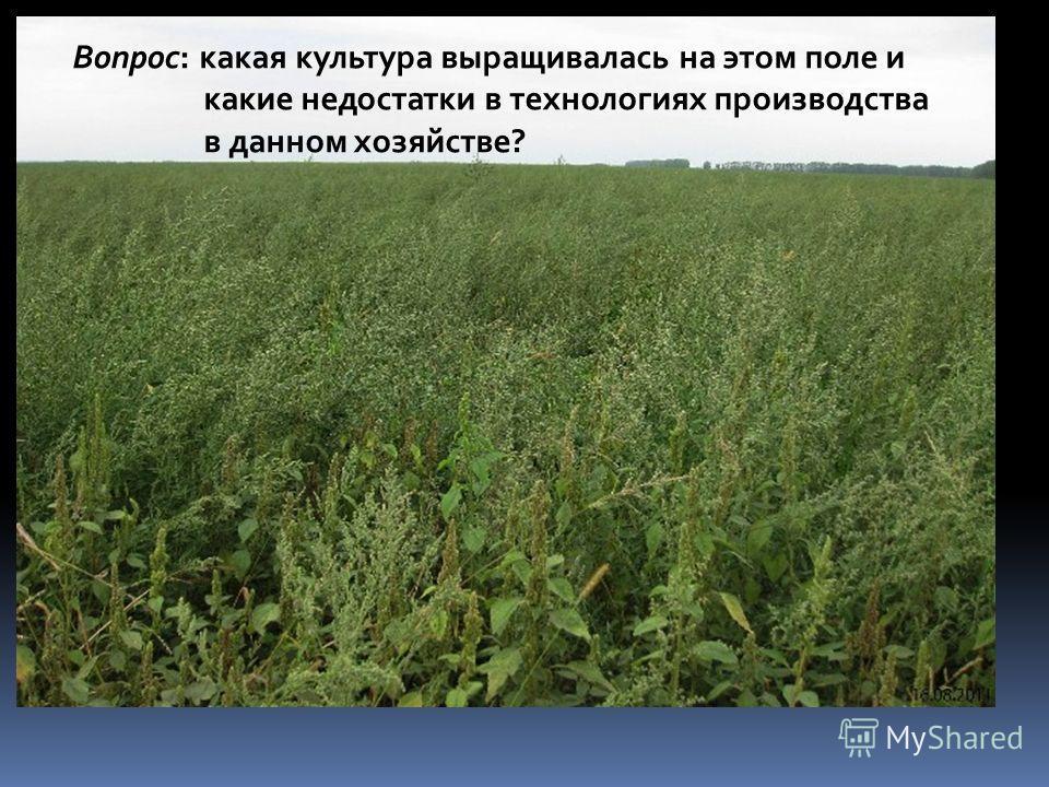 Вопрос: какая культура выращивалась на этом поле и какие недостатки в технологиях производства в данном хозяйстве?