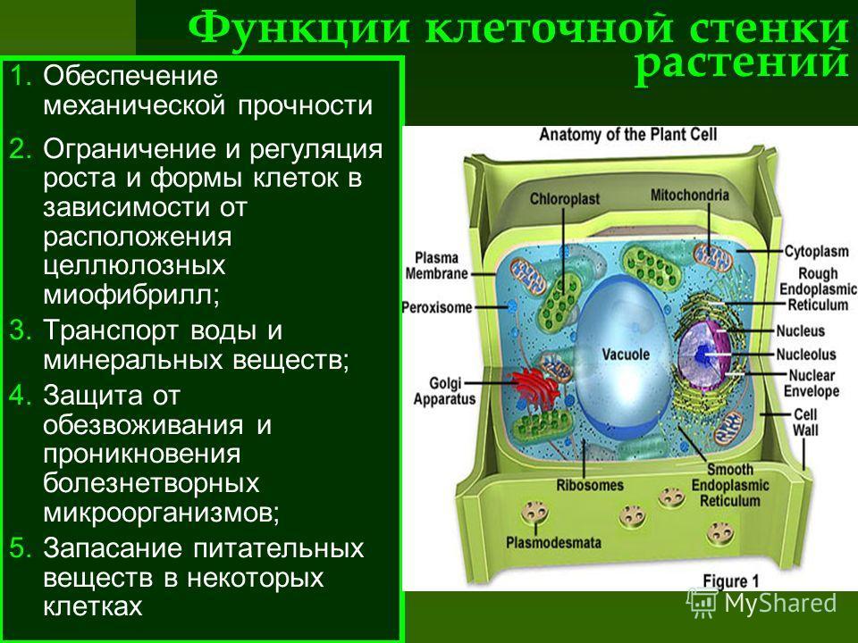 Функции клеточной стенки растений 1.Обеспечение механической прочности 2.Ограничение и регуляция роста и формы клеток в зависимости от расположения целлюлозных миофибрилл; 3.Транспорт воды и минеральных веществ; 4.Защита от обезвоживания и проникнове
