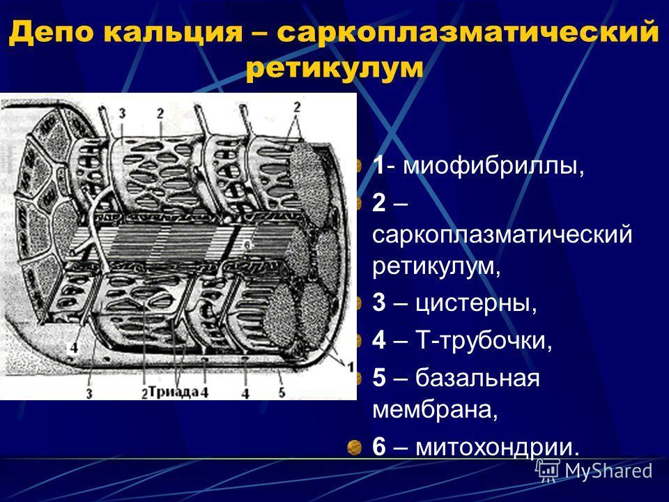 Ретикулум Саркоплазматический фото