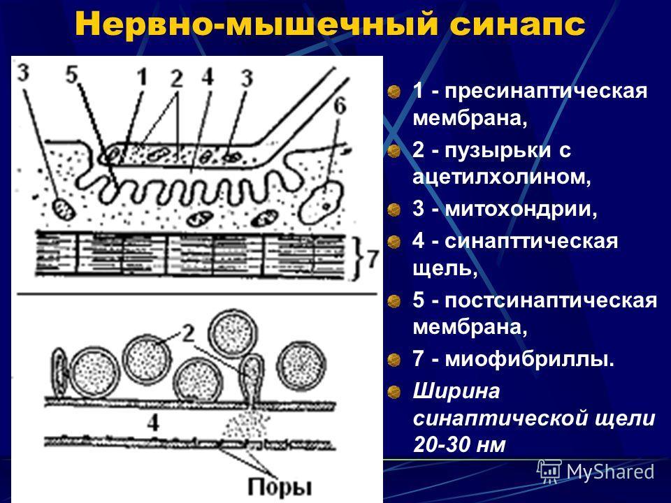 Нервно-мышечный синапс 1 - пресинаптическая мембрана, 2 - пузырьки с ацетилхолином, 3 - митохондрии, 4 - синапттическая щель, 5 - постсинаптическая мембрана, 7 - миофибриллы. Ширина синаптической щели 20-30 нм