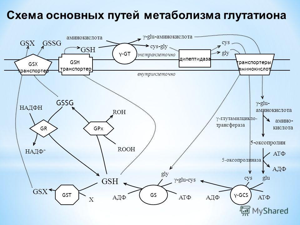 GSX транспортер GSH транспортер γ-GT дипептидаза транспортеры аминокислот экстраклеточно внутриклеточно cys gly γ-glu-аминокислота cys-gly аминокислота GSH GSXGSSG γ-GCS GSGST γ-glu- аминокислота 5-оксопролин амино- кислота ATФ AДФ cys glu GR GPx gly