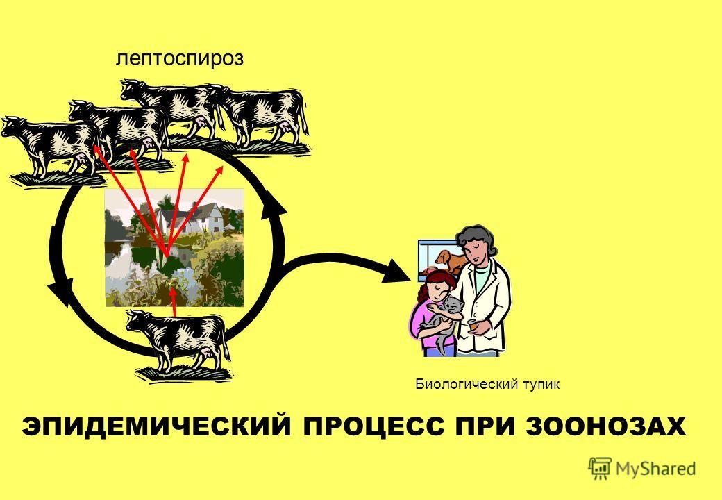 ЭПИДЕМИЧЕСКИЙ ПРОЦЕСС ПРИ ЗООНОЗАХ лептоспироз Биологический тупик