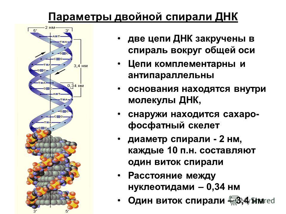 Параметры двойной спирали ДНК две цепи ДНК закручены в спираль вокруг общей оси Цепи комплементарны и антипараллельны основания находятся внутри молекулы ДНК, снаружи находится сахаро- фосфатный скелет диаметр спирали - 2 нм, каждые 10 п.н. составляю