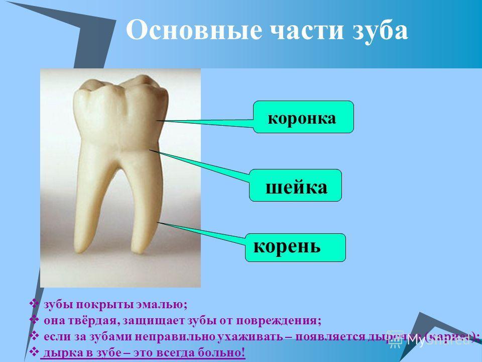 Основные части зуба корень шейка коронка зубы покрыты эмалью; она твёрдая, защищает зубы от повреждения; если за зубами неправильно ухаживать – появляется дырочка (кариес); дырка в зубе – это всегда больно!