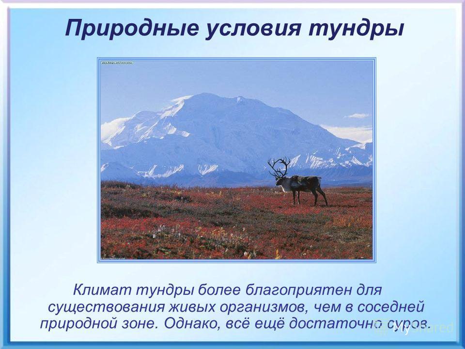 Климат тундры более благоприятен для существования живых организмов, чем в соседней природной зоне. Однако, всё ещё достаточно суров. Природные условия тундры