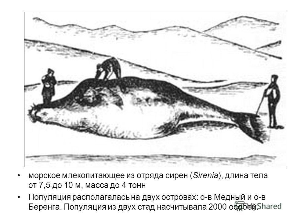 морское млекопитающее из отряда сирен (Sirenia), длина тела от 7,5 до 10 м, масса до 4 тонн Популяция располагалась на двух островах: о-в Медный и о-в Беренга. Популяция из двух стад насчитывала 2000 особей.