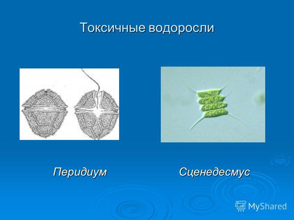 Токсичные водоросли ПеридиумСценедесмус