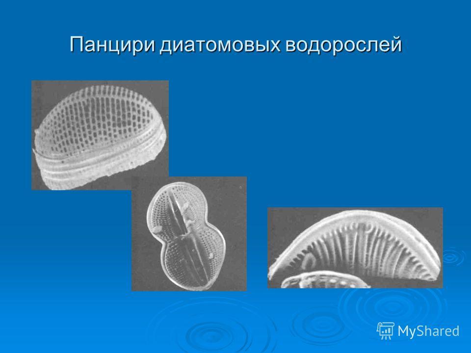 Панцири диатомовых водорослей