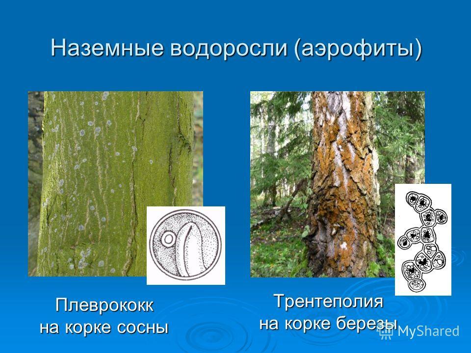 Наземные водоросли (аэрофиты) Трентеполия на корке березы Плеврококк на корке сосны