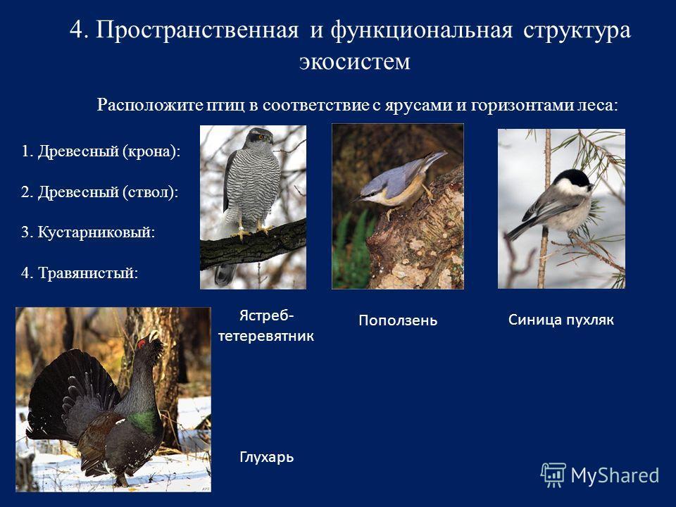 4. Пространственная и функциональная структура экосистем Расположите птиц в соответствие с ярусами и горизонтами леса: 1. Древесный (крона): 2. Древесный (ствол): 3. Кустарниковый: 4. Травянистый: Ястреб- тетеревятник Поползень Синица пухляк Глухарь