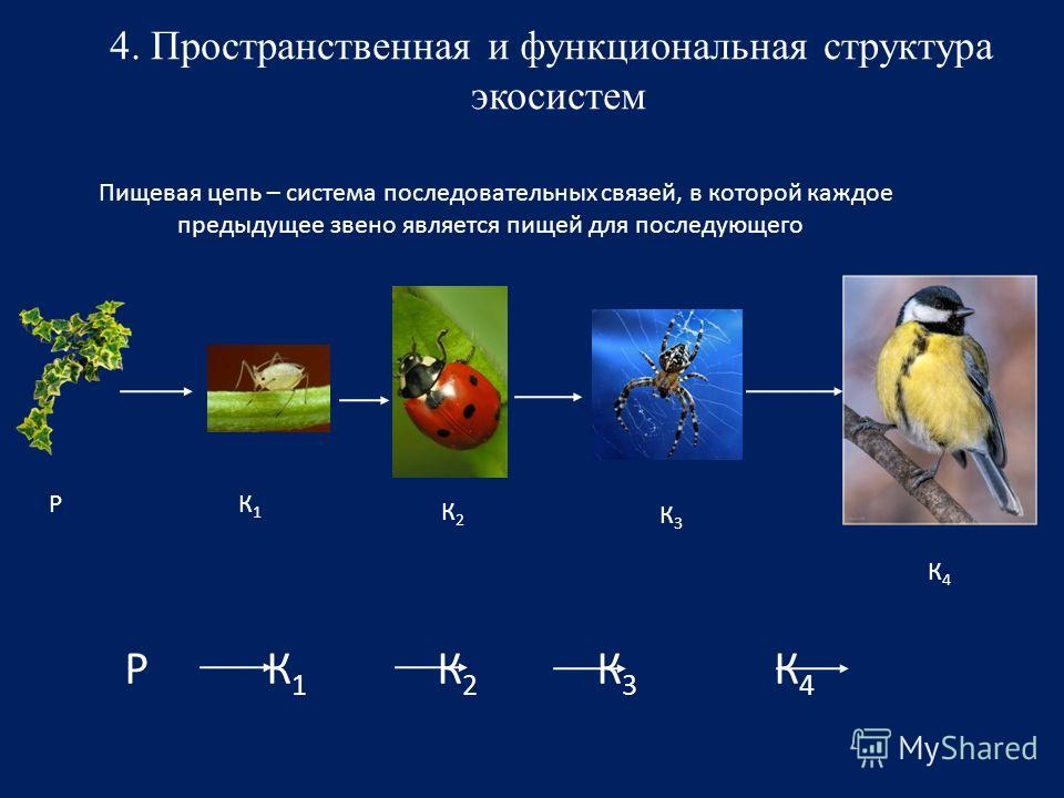 4. Пространственная и функциональная структура экосистем Пищевая цепь – система последовательных связей, в которой каждое предыдущее звено является пищей для последующего Р К 1 К 2 К 3 К 4 РК1К1 К2К2 К3К3 К4К4