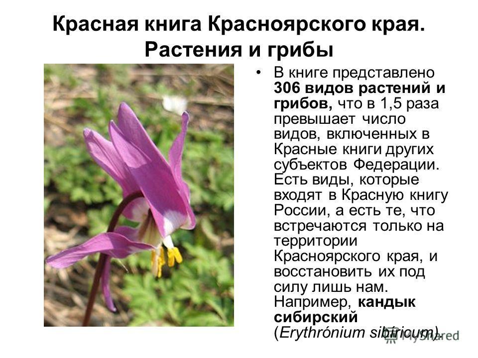 Красная книга Красноярского края. Растения и грибы В книге представлено 306 видов растений и грибов, что в 1,5 раза превышает число видов, включенных в Красные книги других субъектов Федерации. Есть виды, которые входят в Красную книгу России, а есть
