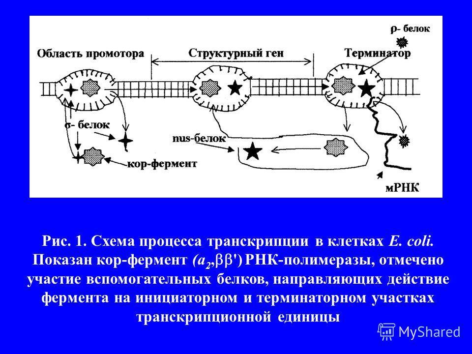 Рис. 1. Схема процесса транскрипции в клетках Е. coli. Показан кор-фермент (а 2, ') РНК-полимеразы, отмечено участие вспомогательных белков, направляющих действие фермента на инициаторном и терминаторном участках транскрипционной единицы