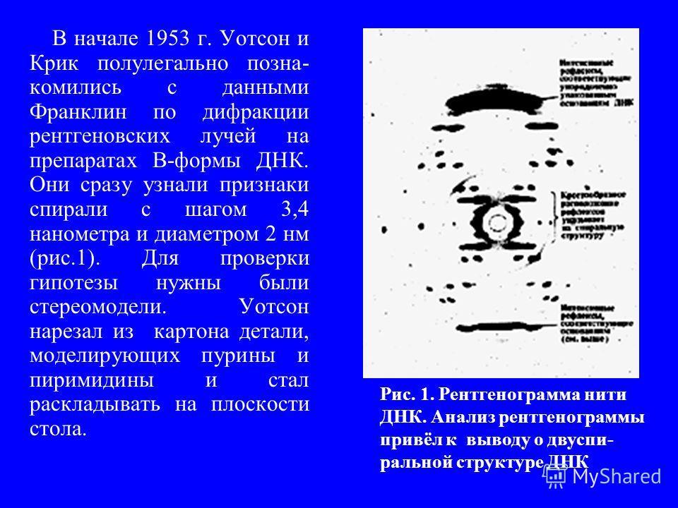 В начале 1953 г. Уотсон и Крик полулегально позна- комились с данными Франклин по дифракции рентгеновских лучей на препаратах В-формы ДНК. Они сразу узнали признаки спирали с шагом 3,4 нанометра и диаметром 2 нм (рис.1). Для проверки гипотезы нужны б