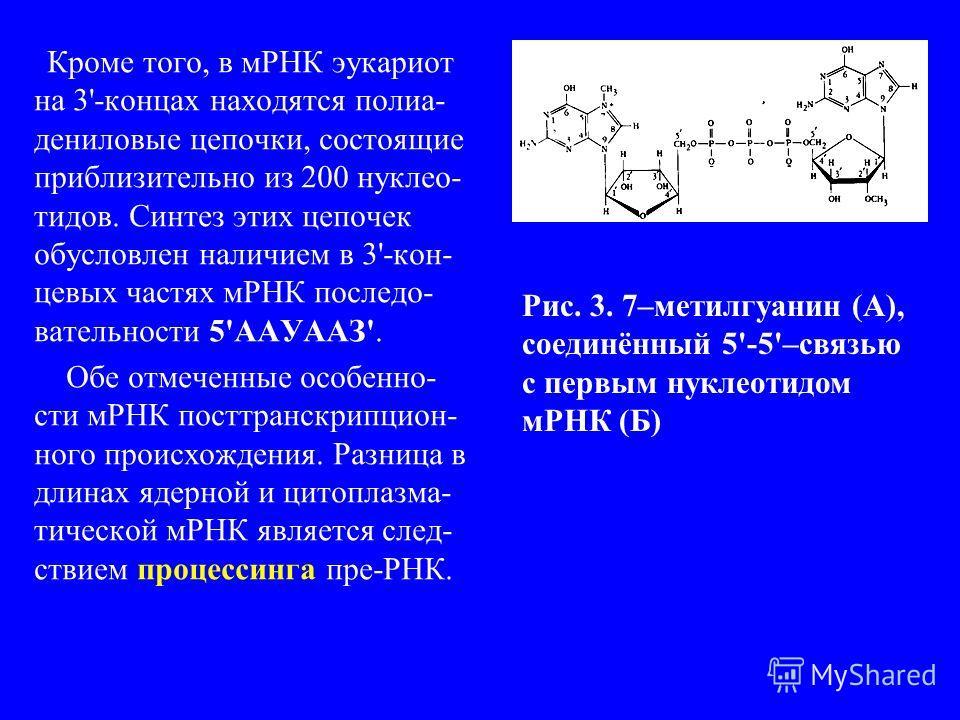 Кроме того, в мРНК эукариот на 3'-концах находятся полиа- дениловые цепочки, состоящие приблизительно из 200 нуклео- тидов. Синтез этих цепочек обусловлен наличием в 3'-кон- цевых частях мРНК последо- вательности 5'ААУААЗ'. Обе отмеченные особенно- с