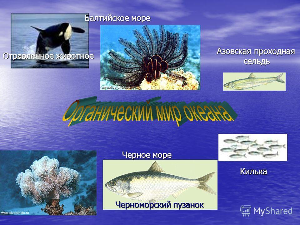 Отравленное животное Черноморский пузанок Балтийское море Черное море Азовская проходная сельдь Килька