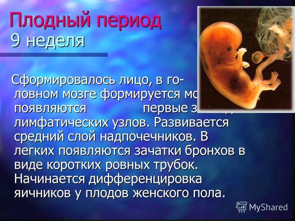 9 неделя Сформировалось лицо, в го- ловном мозге формируется мозжечок, появляются первые закладки лимфатических узлов. Развивается средний слой надпочечников. В легких появляются зачатки бронхов в виде коротких ровных трубок. Начинается дифференциров
