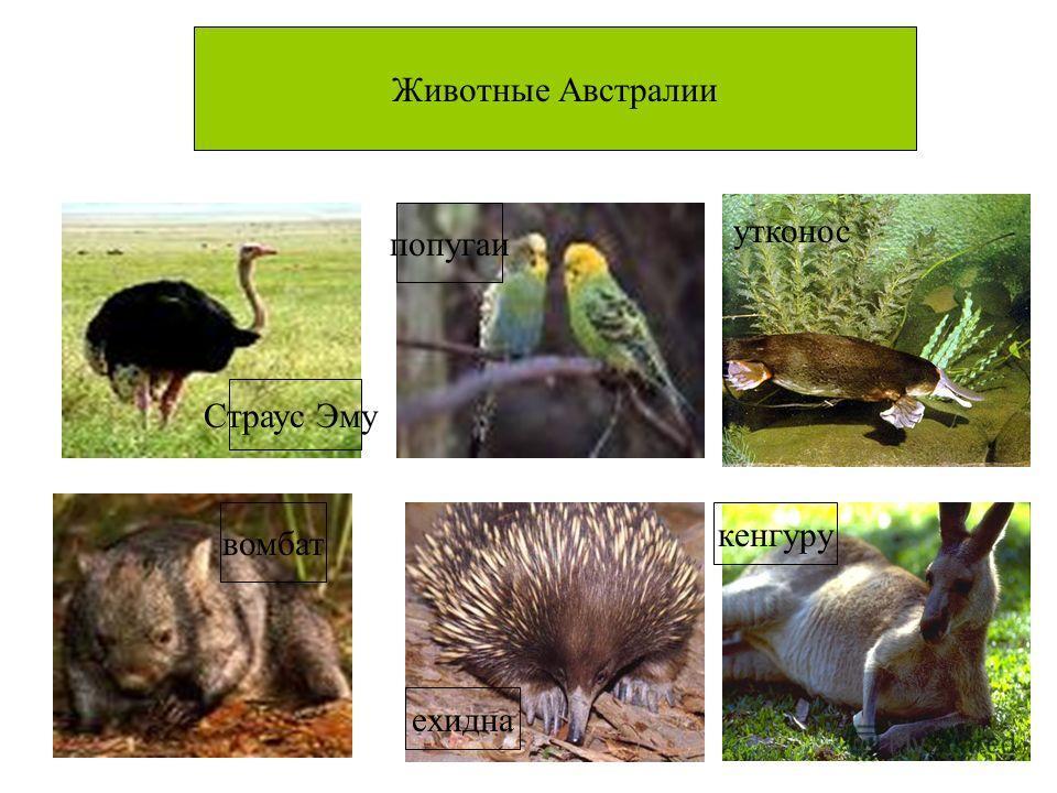 Животные Австралии Страус Эму вомбат ехидна кенгуру попугаи утконос