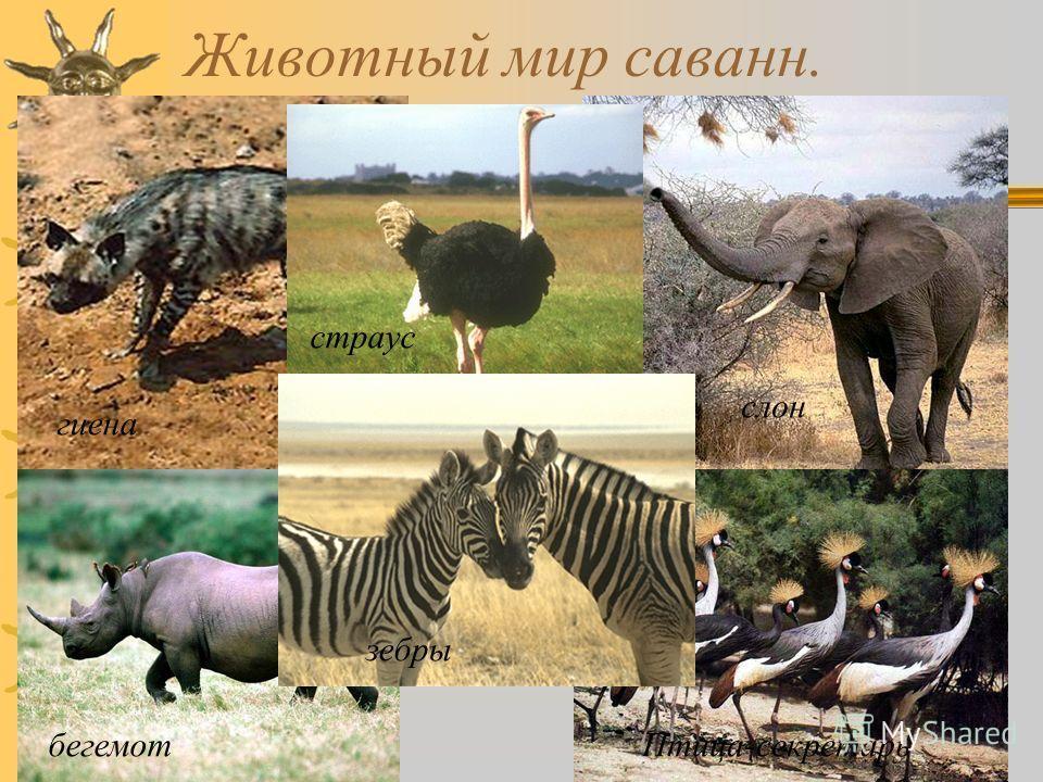 Животный мир саванн. гиена страус бегемотПтица-секретарь зебры слон